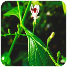 Andrographis_paniculata