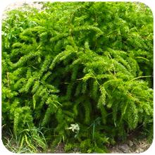 Asparagus_adscendens