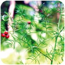 Asparagus_racemossus