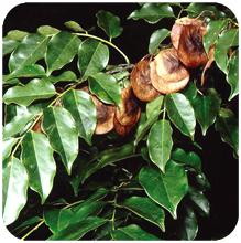Pterocarpus_marsupium