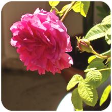 Rosa_centifolia