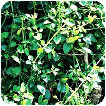 Rubia_cordifolia