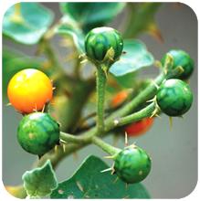 Solanum_xanthocarpum