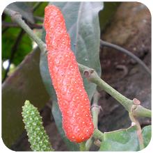 piper-retrofractum